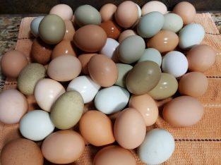Chickens table & fertile eggs whatsapp +2773453138
